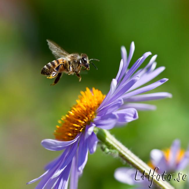 Flygande bi