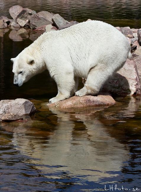 Isbjörn, Orsa Grönklitt